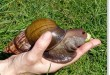 escargot-géant-floride