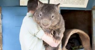patrick-le-wombat